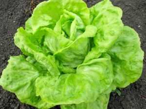 Lettuce May King